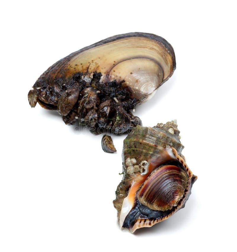Bucino y anodonta veteados (mejillones del rapa del río) fotos de archivo