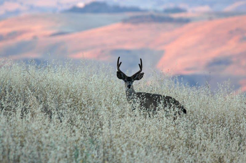 buck ηλιοβασίλεμα στοκ φωτογραφίες με δικαίωμα ελεύθερης χρήσης