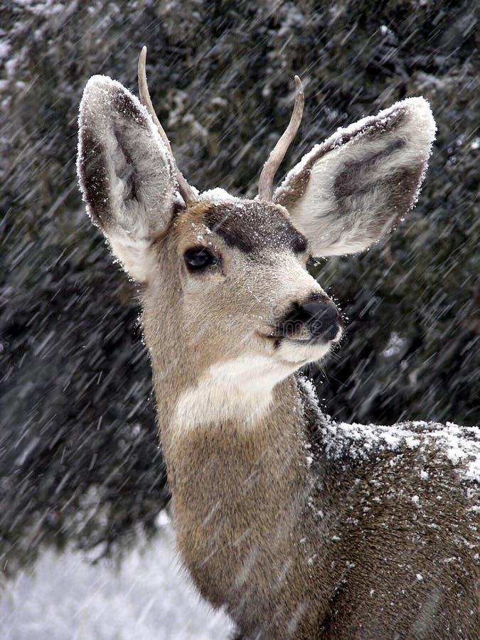 Buck υπερήφανος Στοκ Εικόνες