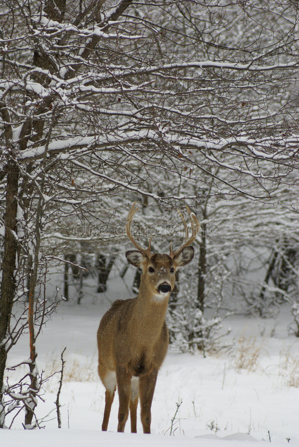 buck χιόνι στοκ εικόνες με δικαίωμα ελεύθερης χρήσης