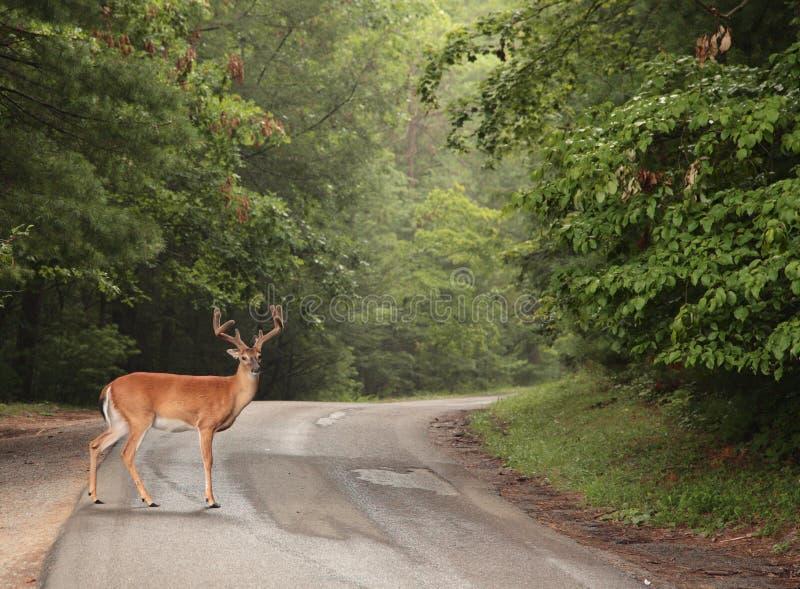 Download Buck stock image. Image of wood, hart, horn, deer, road - 6651403
