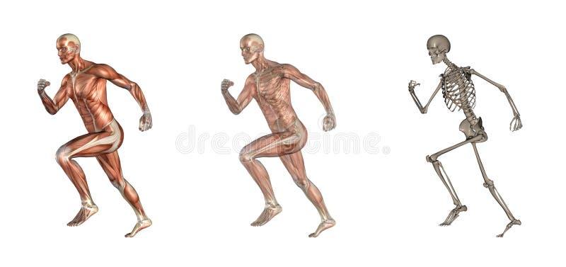 buck anatomii uciekaj royalty ilustracja