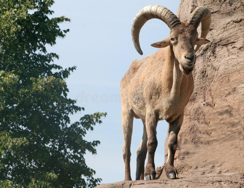 buck barbary owce obrazy royalty free