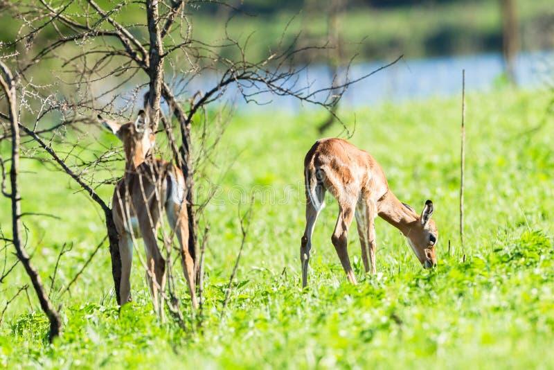 Buck Calf Wildlife fotografia stock libera da diritti