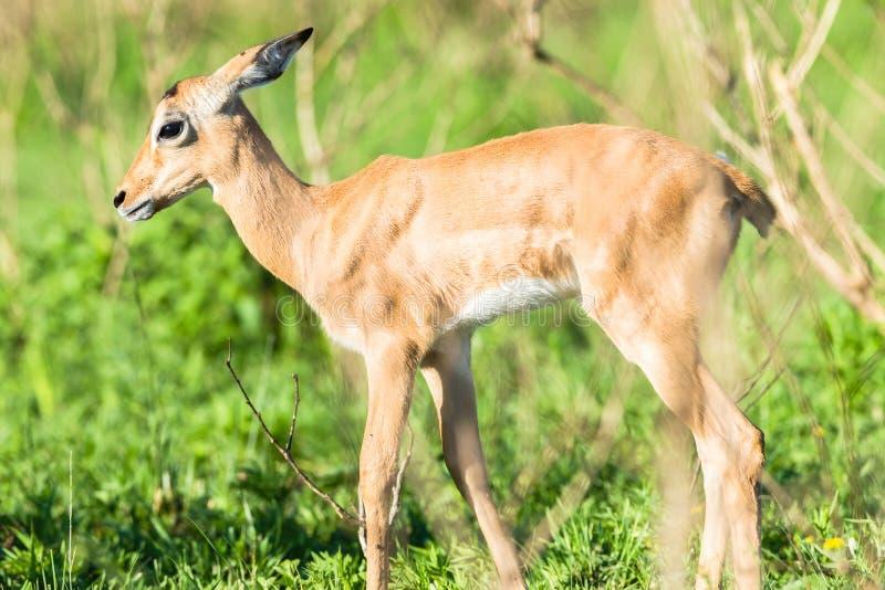 Buck Calf Wildlife stock images