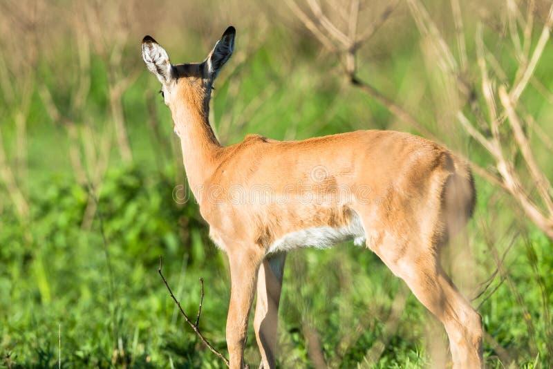 Buck Calf Wildlife stock photography