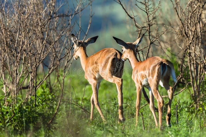 Buck Calves Wildlife fotografering för bildbyråer