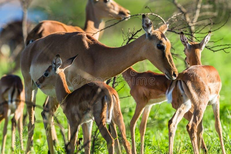 Buck Calves Wildlife royaltyfria bilder