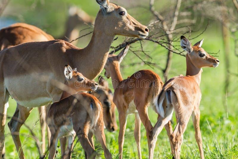 Buck Calves Wildlife royaltyfri fotografi
