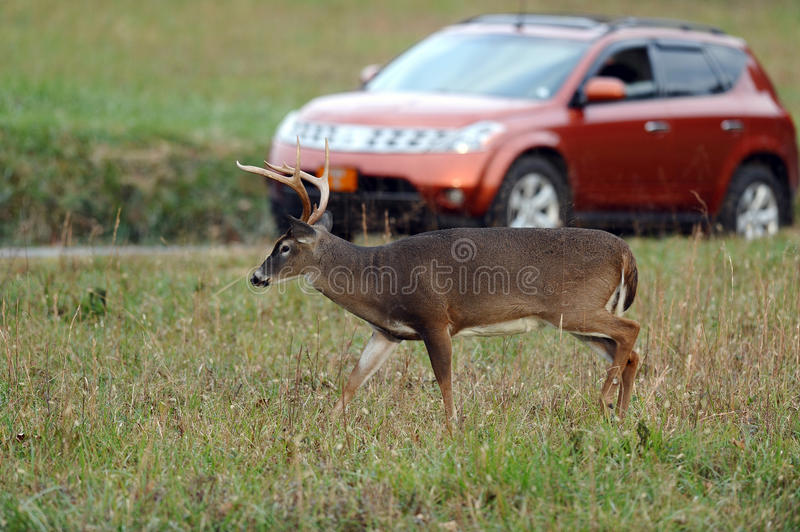 Download Buck and car stock photo. Image of scared, fear, whitetail - 27549780