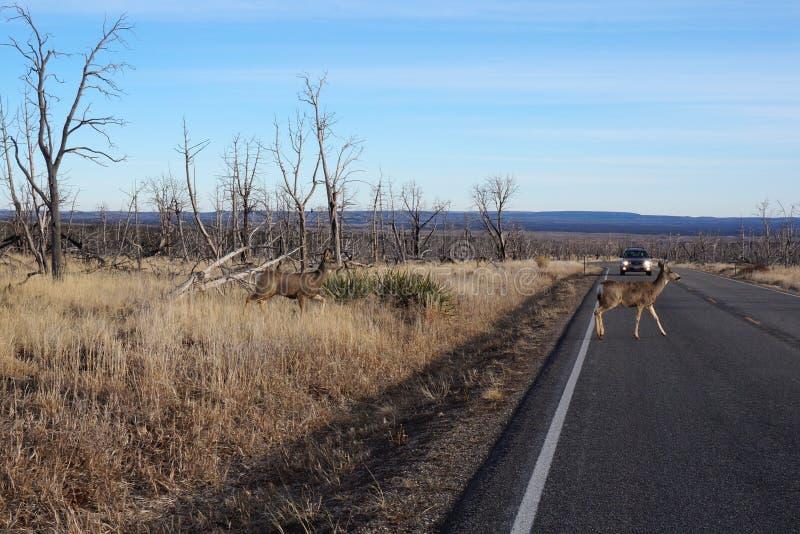 Buck Deer cammina attraverso la strada immagine stock libera da diritti