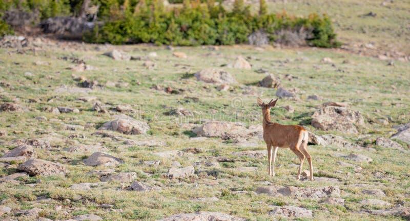 Buck Deer joven con las nuevas astas en un prado alpino en un día de verano en Rocky Mountain National Park en Colorado foto de archivo libre de regalías