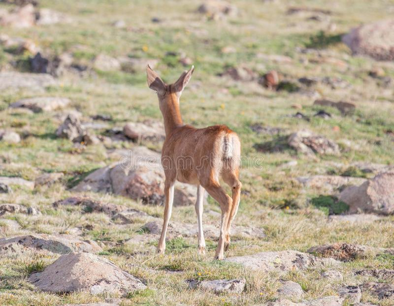 Buck Deer joven con las nuevas astas que corren en un prado alpino en un día de verano en Rocky Mountain National Park en Colorad fotografía de archivo libre de regalías