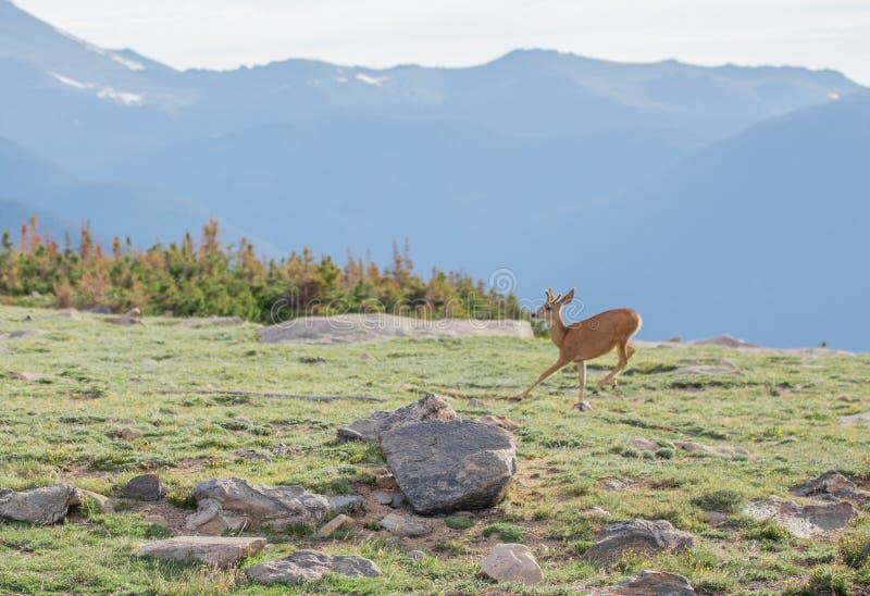 Buck Deer joven con las nuevas astas que corren en un prado alpino en un día de verano en Rocky Mountain National Park en Colorad fotografía de archivo