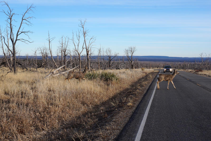Buck Deer marche à travers la route image libre de droits