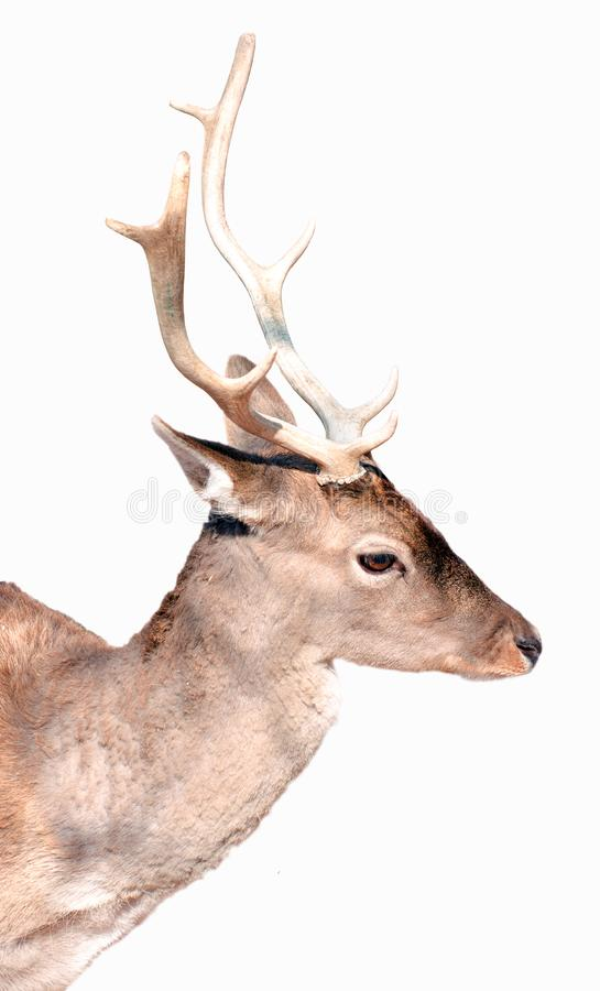 Buck deer portrait isolated on white royalty free stock photography