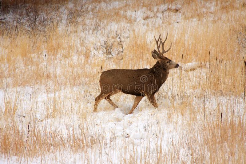 Buck Deer In th Snow stock photography
