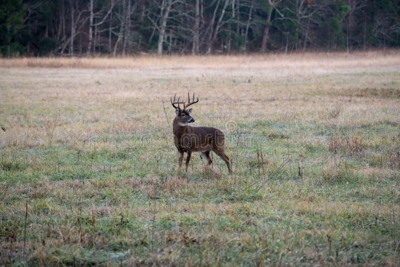 Buck di cervo bianco grande fotografia stock