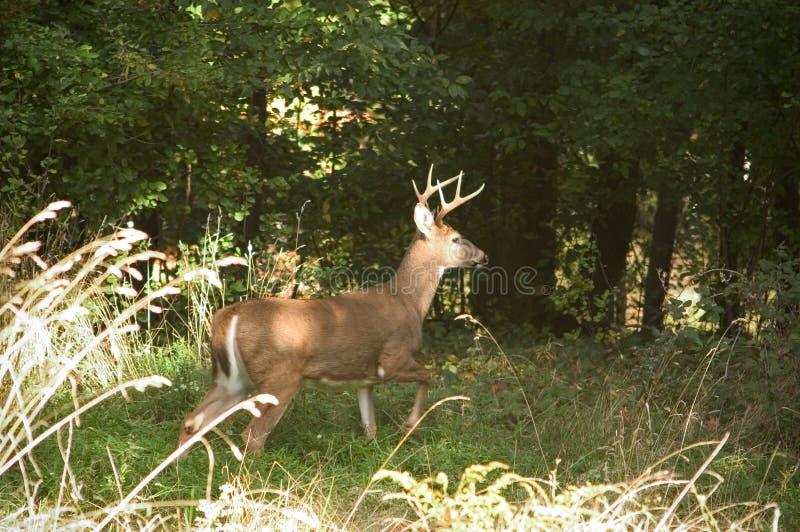 Download Buck dumna zdjęcie stock. Obraz złożonej z trawy, liść, drzewa - 28424