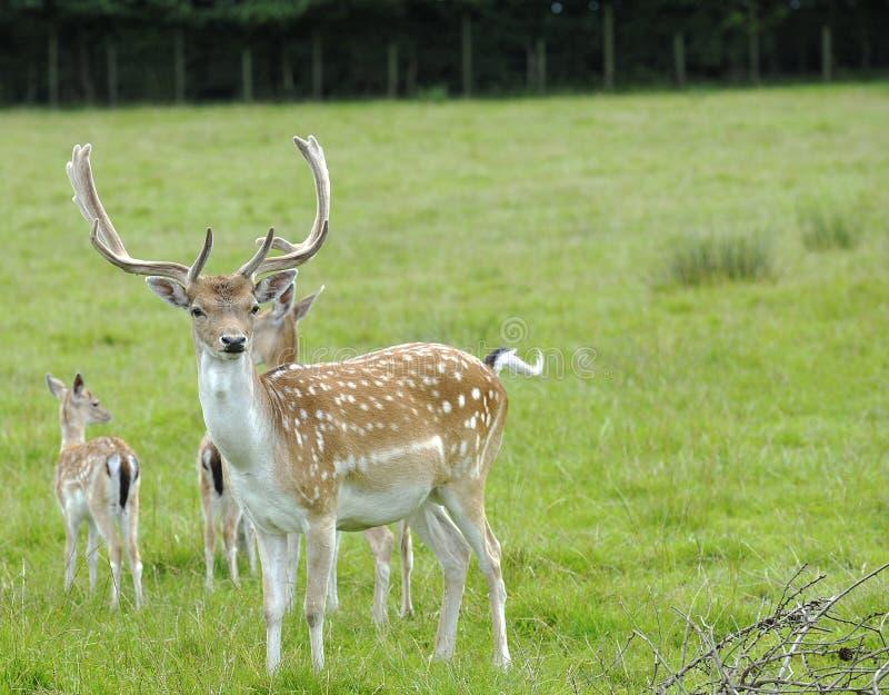 Buck Fallow Deer orgulhoso foto de stock royalty free