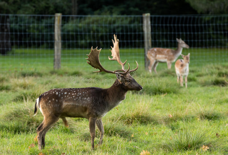Download Buck Fallow Deer stock photo. Image of zealand, fence - 92225804