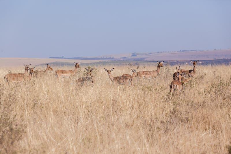Download Buck Herd Wildlife Animals foto de archivo. Imagen de peligros - 42441962