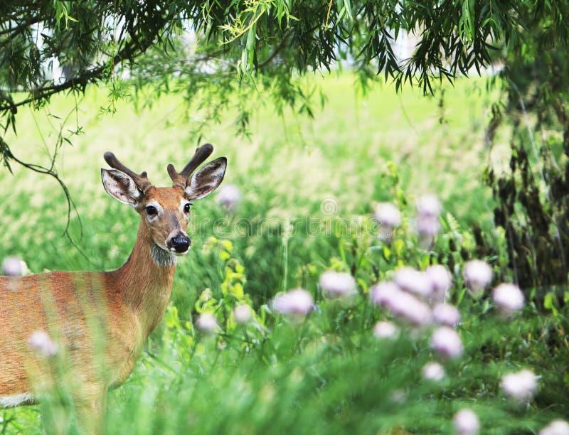 Buck Mule Deer Framed joven por el follaje fotos de archivo