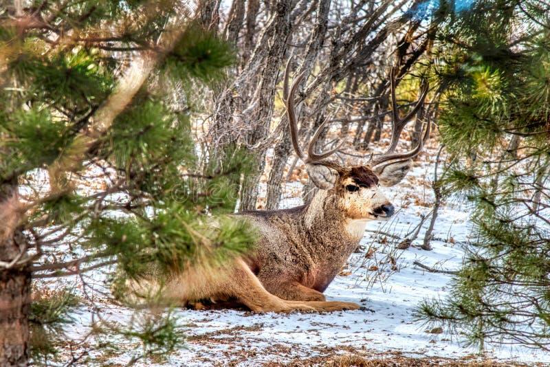 Buck Mule Deer Laying en la nieve que se relaja imagenes de archivo