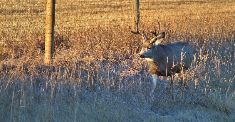 Buck Mule-Rotwild im Sonnenaufgang lizenzfreie stockfotos