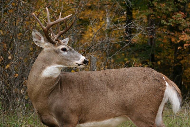 buck ogona jeleni white obraz stock