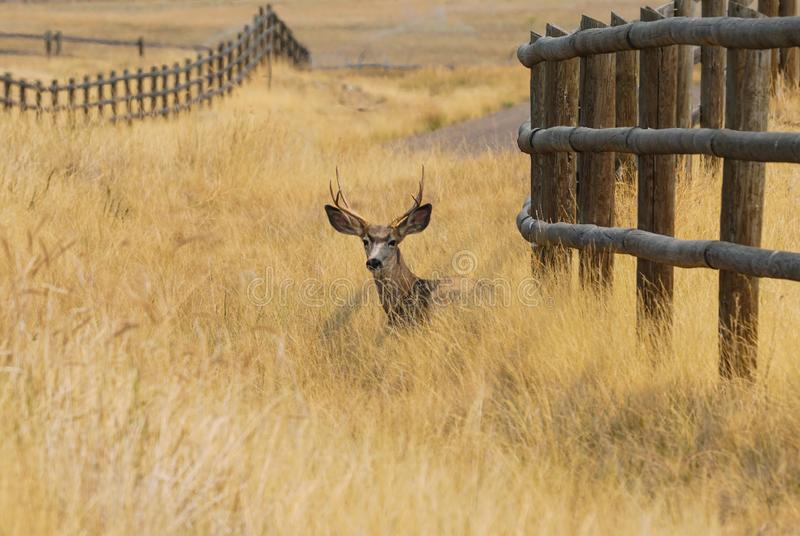 Buck Resting in Autumn Grass stock afbeelding