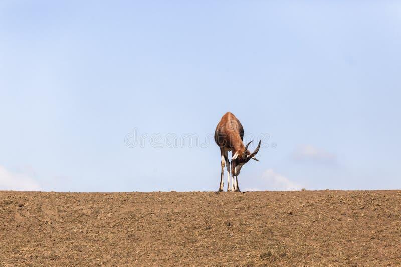 Buck Sleep Wildlife royalty free stock photography