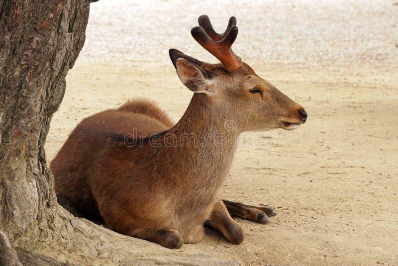 Buck under tree stock image