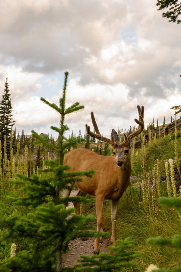 Buck with Velvet Antlers in Bear Grass royalty-vrije stock fotografie