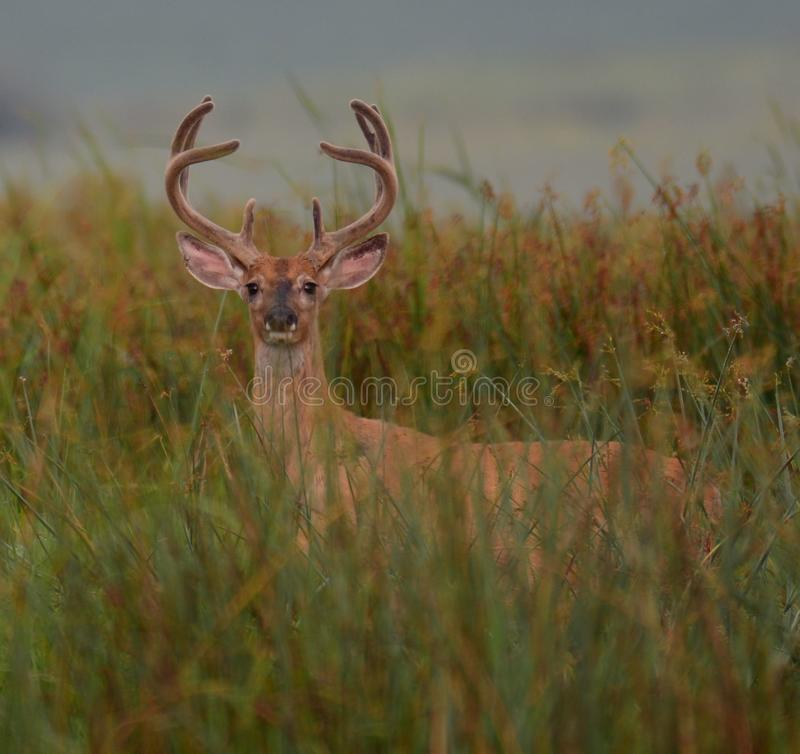Buck in Velvet. A mature white tail deer grazing in the tall grass, in about a month he will be dodging arrows and then bullets stock photography