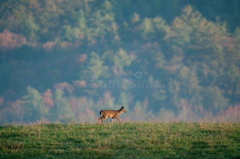 buck whitetail νεολαίες στοκ εικόνες