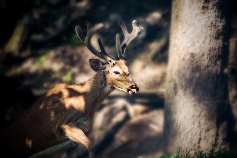 Buck Whitetail Deer Dark. Buck Whitetail Deer licking nose in dark forest royalty free stock photo