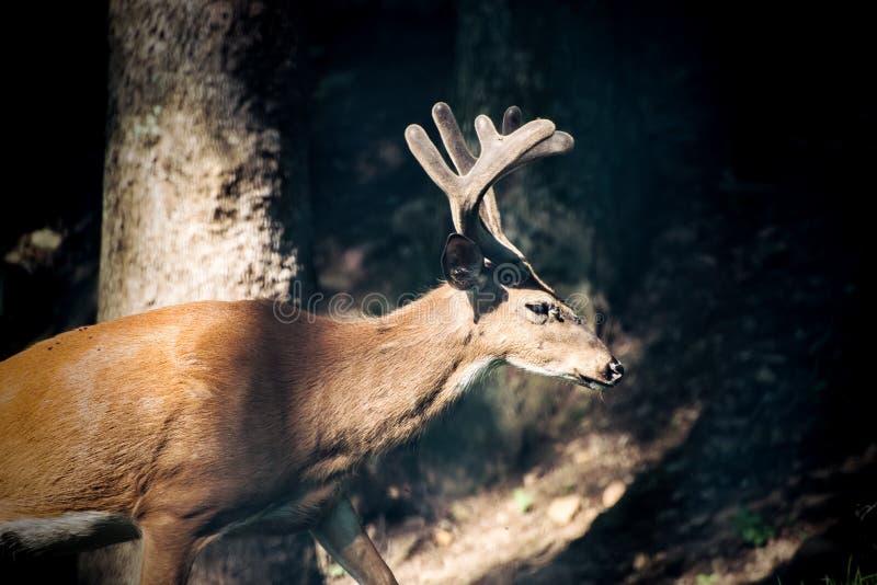Buck Whitetail Deer Dark. Buck Whitetail Deer sunrise dark forest stock image