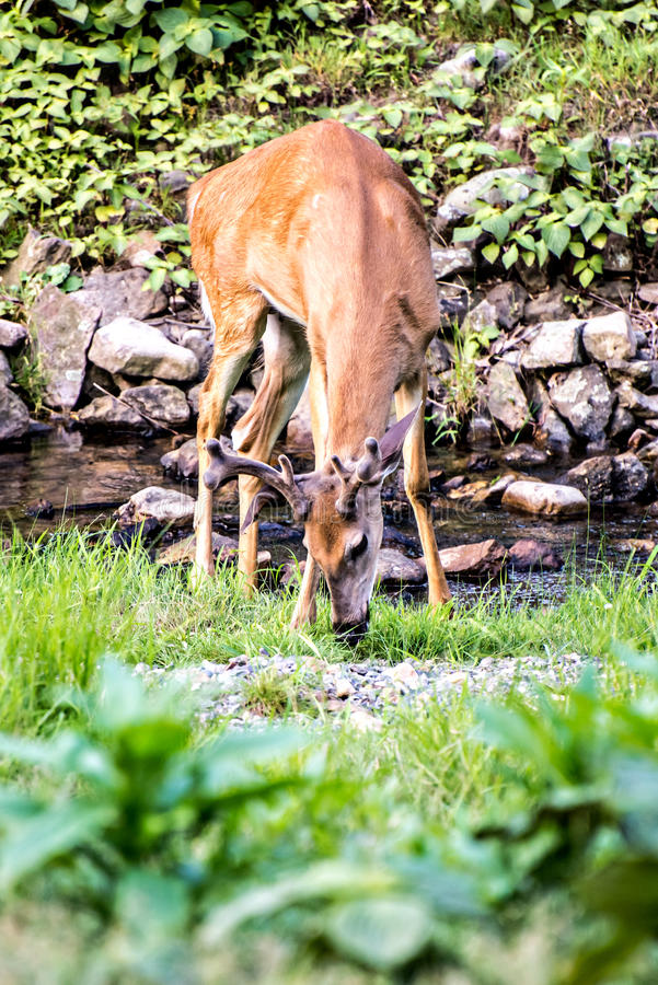 Buck Whitetail Deer Drinking. From stream stock photos