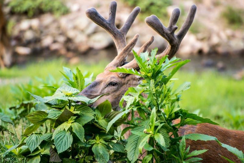 Buck Whitetail Deer Hiding. Peeking through vegetation stock images