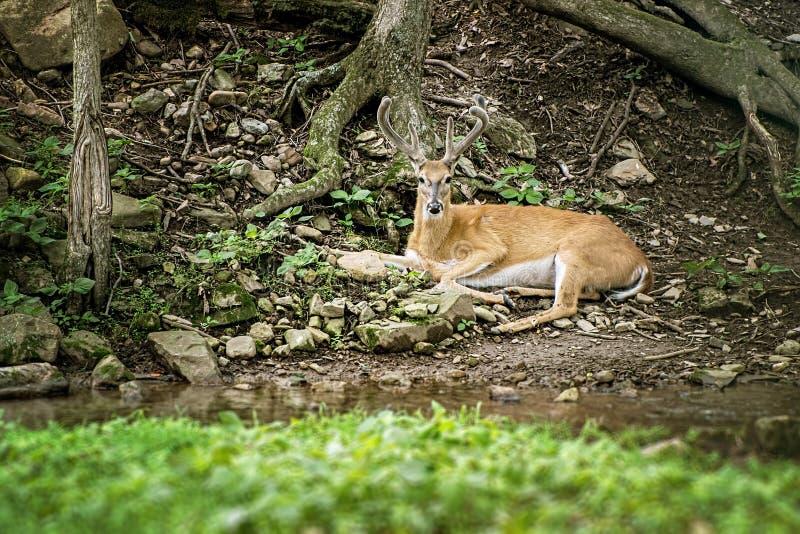 Buck Whitetail Deer Resting. Looking forward beside stream royalty free stock images