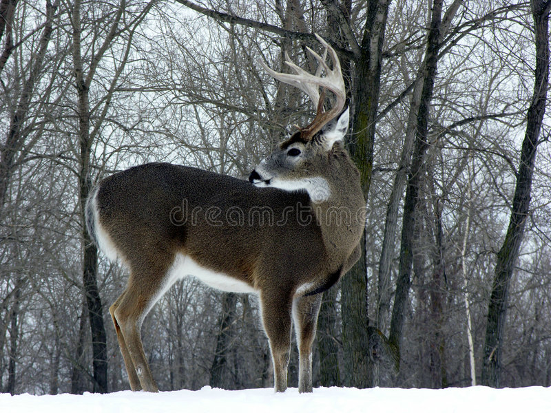 buck whitetail zimy. fotografia royalty free
