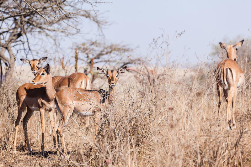 Download Buck Wildlife Animals imagen de archivo. Imagen de manada - 42441803