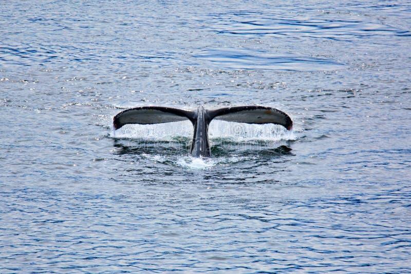 Buckel-Wal stockfotos