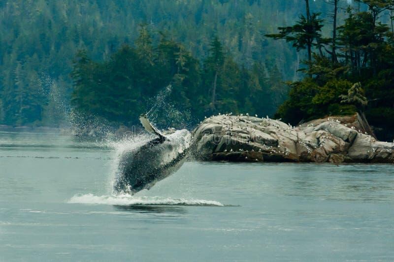 Buckel-Wal stockbilder