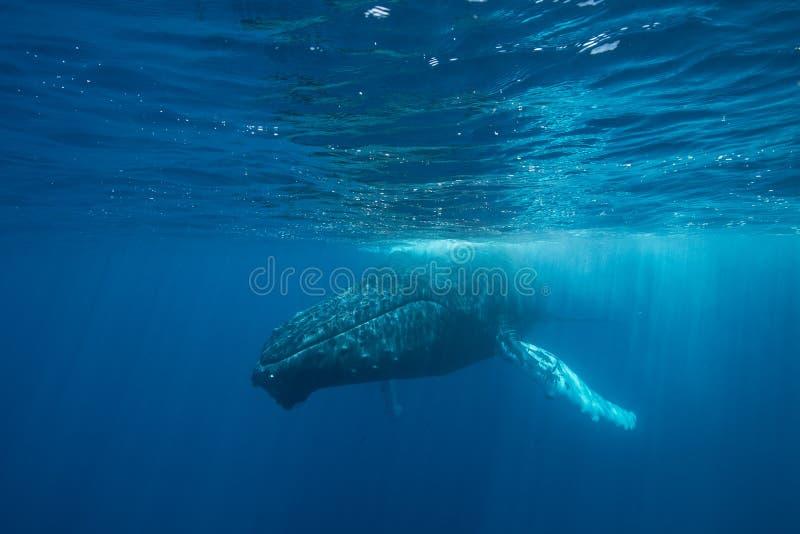 Buckel-Wal an der Oberfläche stockfotografie