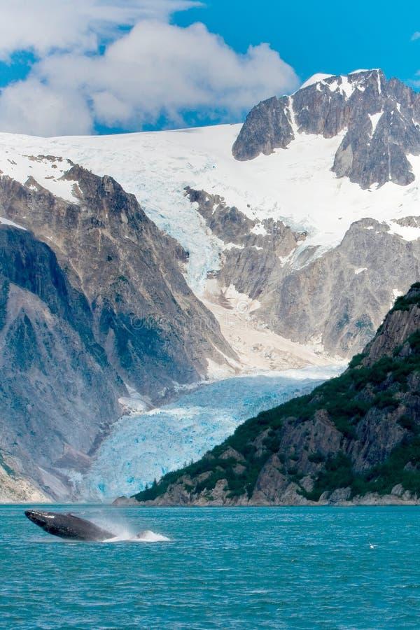 Buckel-Wal-Herausspringen des Wassers vor Gletscher in Alask stockfotografie