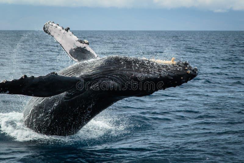 Buckel-Wal in Maui stockfotos