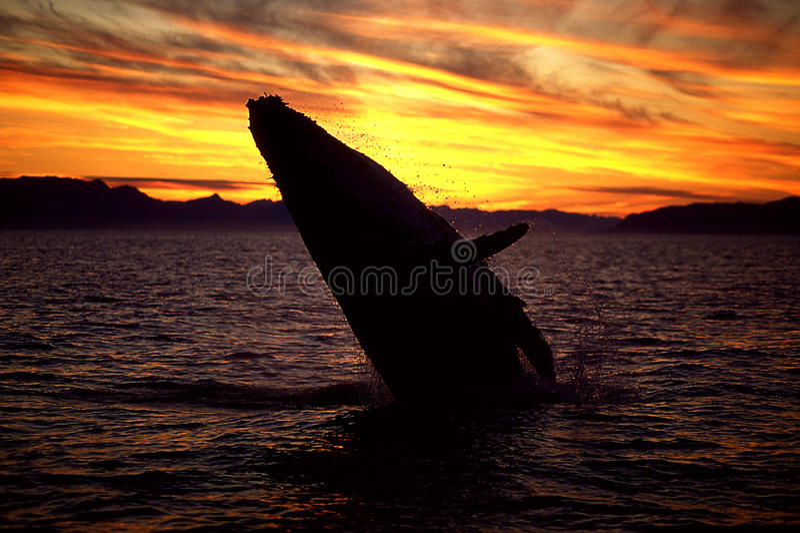 Buckelwal, der bei Sonnenuntergang durchbricht (Megaptera novaeangliae), Ala stockbilder