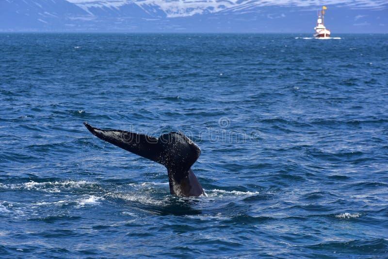 Buckelwal, der vor der Küste von Husavik schwimmt lizenzfreie stockbilder